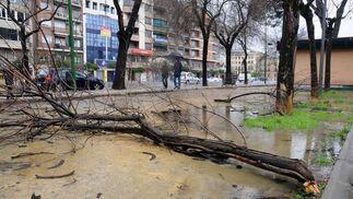 Un árbol caído en la Borbolla.  Foto: Juan Carlos Vázquez