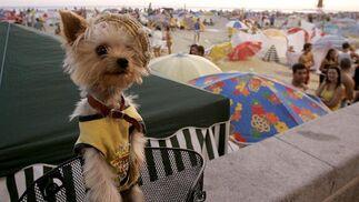 Un perro ataviado con los colores del Cádiz.   Foto: Lourdes de Vicente