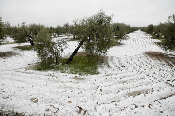 El campo amaneció nevado en Gerena.  Foto: Juan Carlos Muñoz, Manuel Gómez, Antonio Pizarro