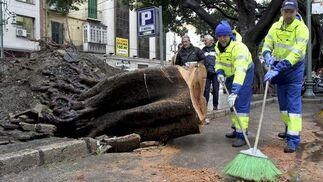 Operarios limpian la calle tras desplomarse un ficus de 13 toneladas en el centro de Málaga.  Foto: Migue Fernández, Sergio Camacho, Agencias