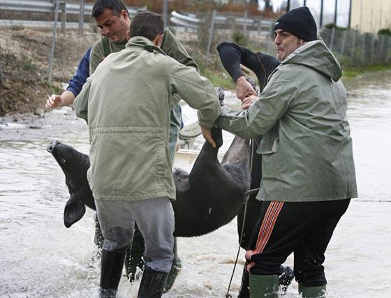 Vecinos de Las Pachecas rescatan un cerdo.  Foto: Pascual