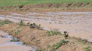 En los campos de la provincia se han creado improvisadas lagunas donde las aves están a sus anchas