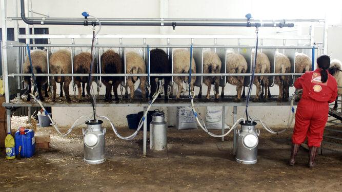 La operaria distribuye los succionadores entre los animales para la extracción de la leche en una explotación de ovejas.