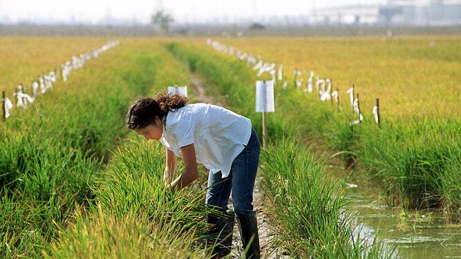 El arroz genera 400.000 jornales al año en la provincia de Sevilla.