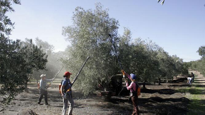 Imagen de archivo de trabajadores recogiendo la aceituna, labores que este año han sido más escasas en Andalucía debido a la falta de precipitaciones.