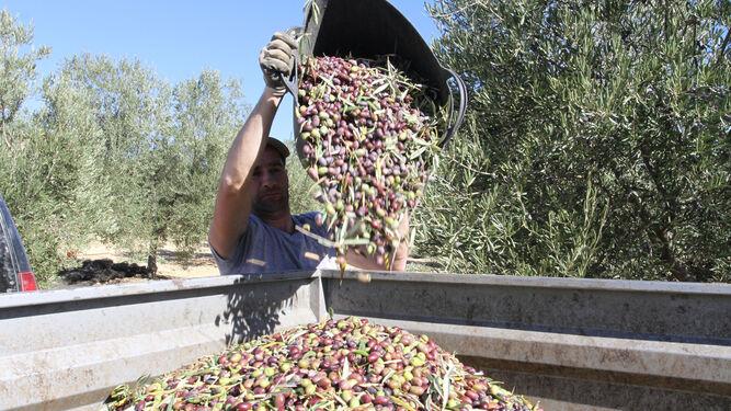 Tareas de recogida de la aceituna en la cooperativas oleícola Olibeas de Huelva.