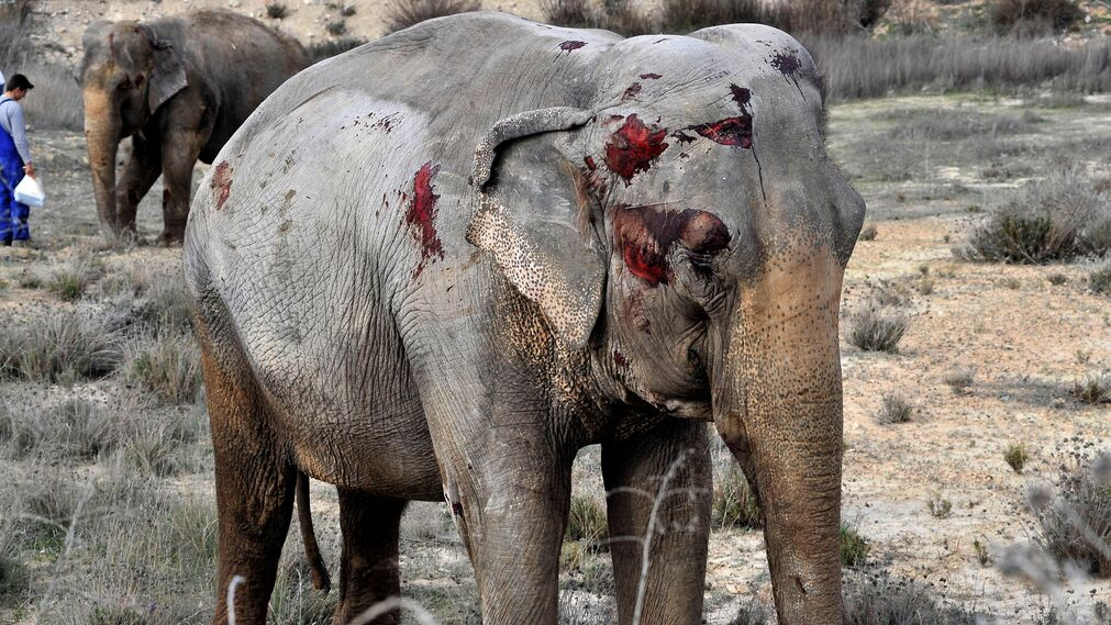 Varios elefantes cortan la A-30 tras un accidente del camión que los transportaba.