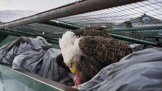 La imagen captada por el fotógrafo Corey Arnold, ganador del primer premio de la categoría 'Nature - Singles'. La foto muestra una águila calva mientras se deleita con restos de carne en los contenedores de basura de un supermercado en Dutch Harbor, Alaska, EEUU, el 14 de febrero de 2017.