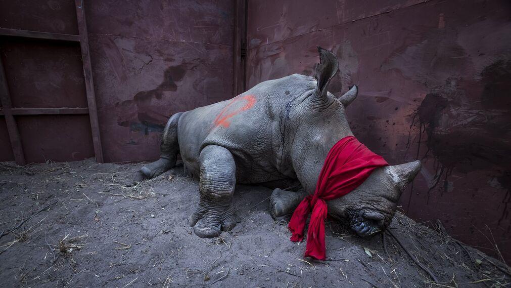 Fotografía que muestra la imagen captada por Neil Aldrige, ganador del primer premio de la categoría 'Environment - Singles'. La foto muestra a un joven rinoceronte blanco del sur, drogado y con los ojos vendados, a punto de ser liberado en la naturaleza en el delta del Okavango, Botsuana, el 21 de septiembre de 2017, después de su traslado desde Sudáfrica para protegerlo de los cazadores furtivos.