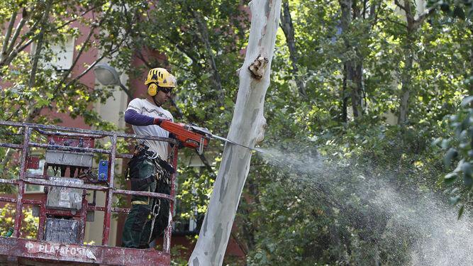 Tala de rboles en sevilla piden una comisi n de for Investigacion de arboles