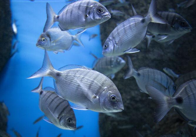 Una de las especies de peces que pueden verse.