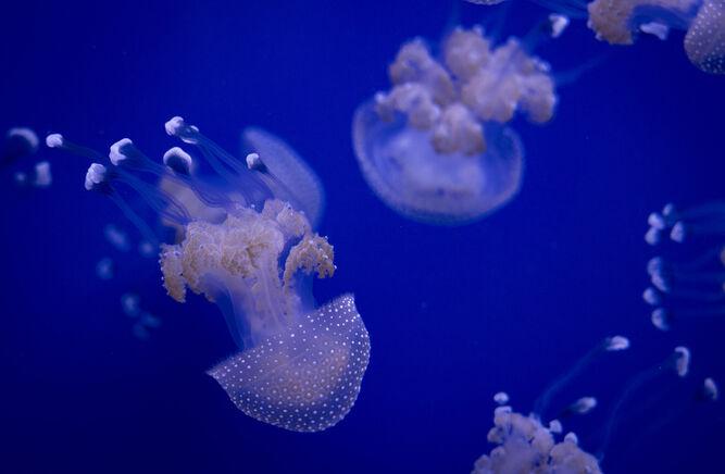 Las medusas protagonizan estos días una exposición en el Acuario.