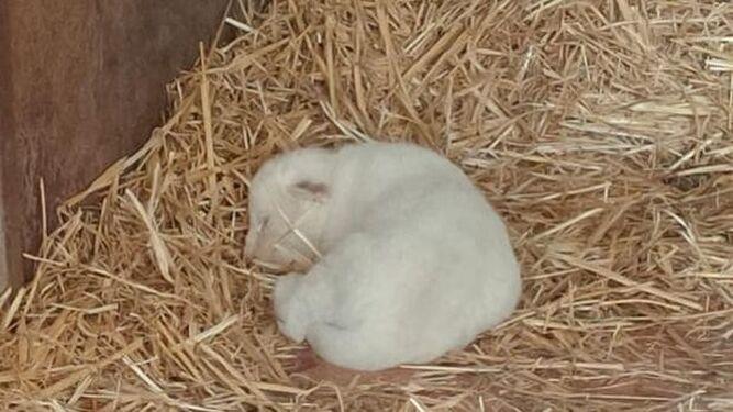 Nace en Sevilla el primer león blanco en cautividad sin enfermedades
