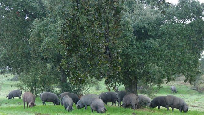 Cerdos en el campo en plena época de montanera comiendo bellotas debajo de la encina.