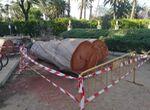 El Ayuntamiento tala un árbol del Alcázar de Sevilla que estaba muerto