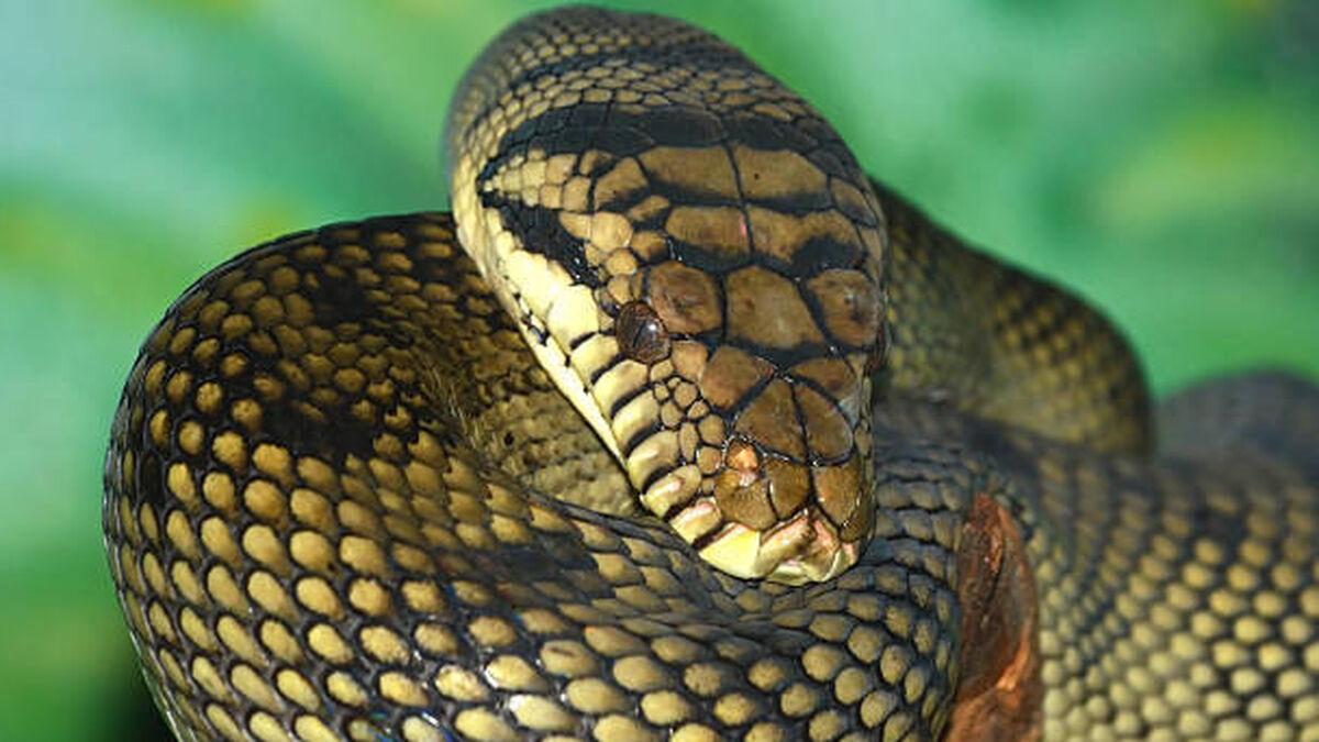 serpiente mas larga del mundo pitoon amatista australiana
